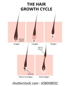 Hair growth phase, anatomy diagram of human hair