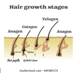 Hair growth stages. Vector illustration.