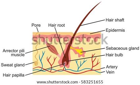 Hair Human Skin Anatomy Illustration Stock Vector Royalty Free
