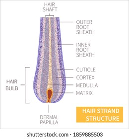 Hair strand under the microscope. Follicle anatomical structure closeup. Removal, treatment and transplantation concept. Medical educational symbol. Body anatomy vector illustration.