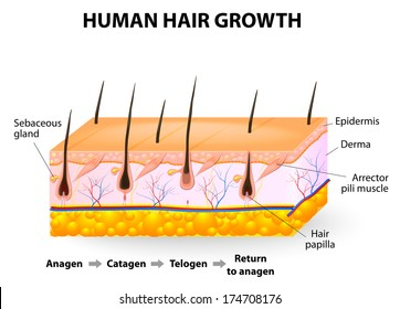 Hair-follicle cycling. anagen is the growth phase; catagen is the regressing phase; and telogen, the resting or quiescent phase. Vector diagram