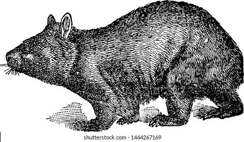 Hairy Nosed Wombat, vintage illustration.