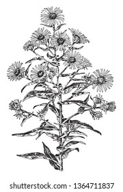 The hairy plant stem and, lobed shaped leaves with entire margins smooth. The flower heads are disc florets at the center, vintage line drawing or engraving illustration.