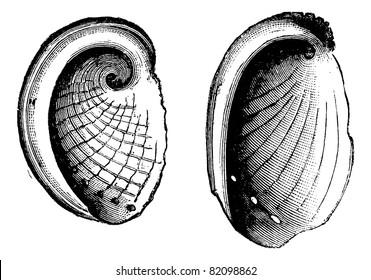 Haliotis tuberculatus, Haliotis Dubria, vintage engraved illustration.  Trousset encyclopedia (1886 - 1891).