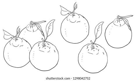 Hallabong(Tangerine) Jeju island fruit