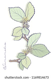 Hamamelis branch with  leaves