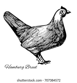 "Hamburg breed hen. Pen and ink drawing, traced into vector image. Vintage style picture isolated on white background with the text ""Hamburg Breed"""