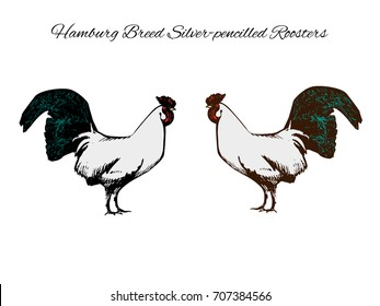 "Hamburg breed roosters meeting. Pen and ink drawing, traced into vector image with colorful additions. Vintage style picture isolated on white background with the text ""Hamburg Breed Roosters"""