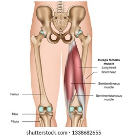 hamstring muscle anatomy 3d medical vector illustration on white background