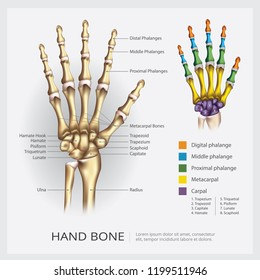 Hand Bone Vector Illustration