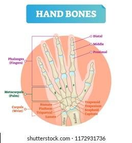 Hand bones vector illustration. Labeled educational human arm structure with phalanges, metacarpals, hamate, pisiform, triquetral and lunate. Palm finger parts scheme.