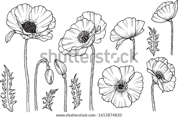 Hand darwn vector poppy flower. Eps 10 illustration. Poppy drug icon. Isolated on white background. Dooodle drawing. Floral design. Line-art