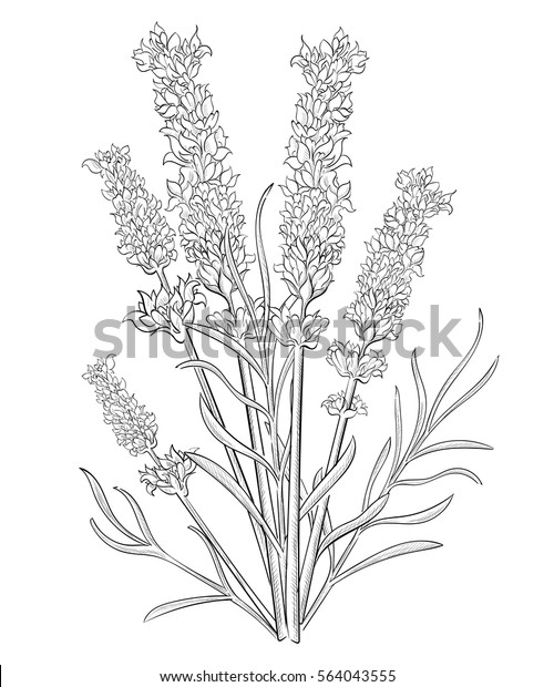 Hand Draw Lavender Pencil Drawing Vector Stock Vektorgrafik