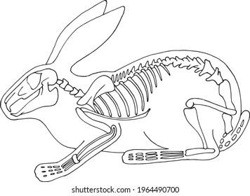 Hand draw skeleton rabbit. Digital doodle. Animal skull,bones