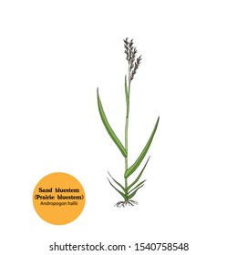Hand drawing of Andropogon hallii, Sand bluestem grass, plant for forage, fodder, hay for livestock. Botanical illustration  with leaves, spikelets, roots and stem.