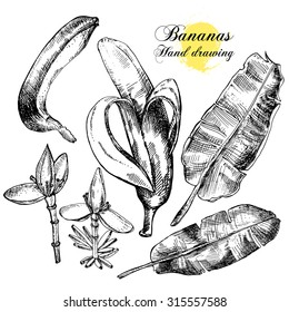 Hand drawing bananas. Flowers, fruit and leaves on a white background. Vector illustration
