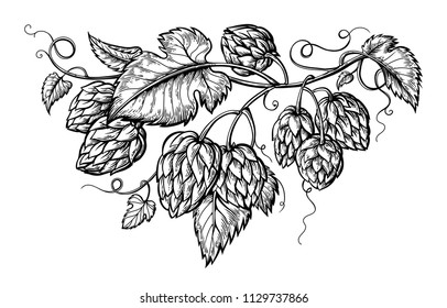 hand drawing of a branch of hops. vector illustration