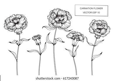 Hand drawing Carnation flowers. Vector, illustration and clip art on white backgrounds.