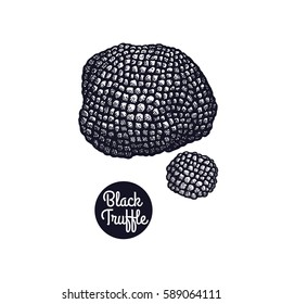 Hand drawing a gourmet mushroom Black Truffle. Style Vintage engraving. Vector illustration art. Graphics in black ink on a white background. Isolated objects of nature. Cooking food design