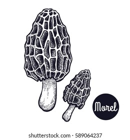 Hand drawing gourmet mushroom Morel. Style Vintage engraving. Vector illustration art. Graphics black ink on white background. Isolated objects of nature. Cooking food design