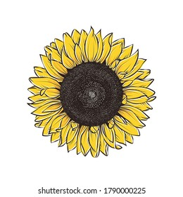 hand drawing illustration of big sunflower isolated on white background