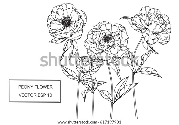 Hand drawing Peony flowers. Vector, illustration and clip art on white backgrounds.