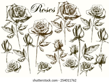 Hand drawing roses on a white background. vector.