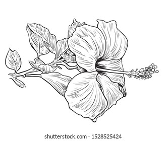 Hand drawing and sketch with Hibiscus flower. Black and white line art illustration. - Vector