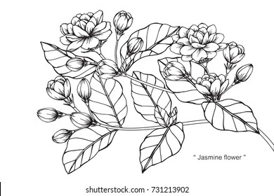 Hand drawing sketch Jasmine flower. Black and white with line art illustration.