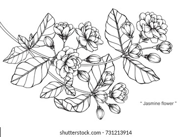 Hand drawing and sketch Jasmine flower. Black and white with line art illustration.