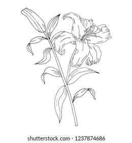 Hand drawing and sketch lily canina flower. Black and white with line art illustration. Vintage flowers. Flower drawings on white backgrounds. Illustration in the style of engravings. Vector. Backdrop