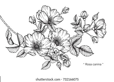 Black and white images stock photos vectors shutterstock hand drawing and sketch rosa canina flower black and white with line art illustration mightylinksfo