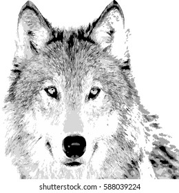 Hand drawing the wolf face on white background double exposure