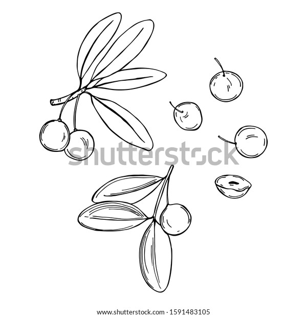 Hand Drawn African Fruits Imbe Garcinia Stock Vector Royalty Free