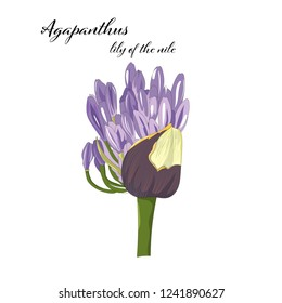 hand drawn Agapanthus flower, lily of the nile, vector illustration isolated on white background