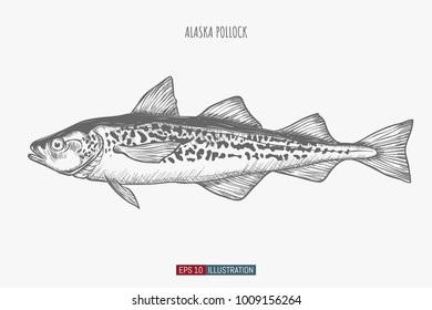 hand drawn alaska pollock fish isolated  engraved style vector  illustration  template for your design