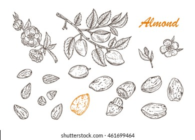Hand drawn Almonds set:  Branches with leaves and immature fruit. Blossoming almond. Nuts and kernels. Vector illustration.