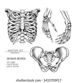 Hand drawn anatomy set. Vector human body parts, bones. Hands, rib cage or ches, pelvic bones. Vintage medicinal illustration. Use for Haloween poster, medical atlas, science realistic image