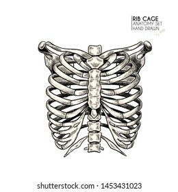 Hand drawn anatomy set. Vector human body parts, bones. Rib cage or chest bones. Vintage medicinal illustration. Use for Haloween poster, medical atlas, science realistic image
