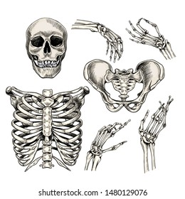 Hand drawn anatomy set. Vector human body parts, bones. Skull, hands, rib cage or chest, pelvic bones. Vintage medicinal illustration. Use for Haloween poster, medical atlas, science realistic image