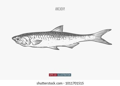 Hand drawn anchovy fish isolated. Engraved style vector illustration. Template for your design works.