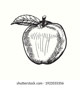 Hand drawn apple with leaf. Ink black and white drawing. Vector illustration