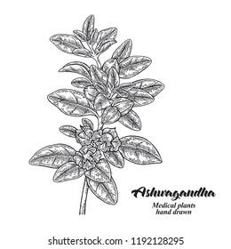 Hand drawn Ashwagandha. Medical plant Isolated on white background. Vector illustration engraved.
