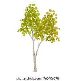 hand drawn aspen birch vector tree clipart