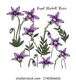 hand drawn australia native flower royal bluebell elements on white background
