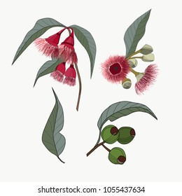 Hand drawn Australia native gum nut and red flowers for pattern making