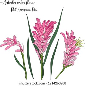 hand drawn Australia native pink kangaroo paw flower illustration on white background