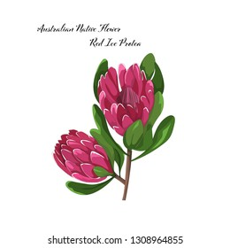 hand drawn australian native flower red ice protea in vector