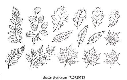 Hand drawn autumn leaves outline collection. Maple and oak leaf in line art style isolated on white background.