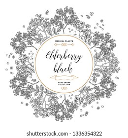 Hand drawn background with elderberry black. Elderberry or sambucus flowers and berries. Vector illustration engraved.